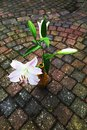 Lily flower on pavement, autumn background Royalty Free Stock Photo