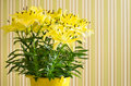 Lily flowers in bucket yellow on striped background Royalty Free Stock Image