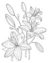 Lily flowers coloring book vector illustration Royalty Free Stock Photo