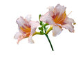 Lily flowers isolated on white background Stock Image