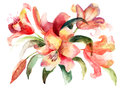 Lily flowers, watercolor illustration Royalty Free Stock Photos