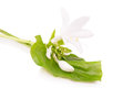Lily host isolated on white background Royalty Free Stock Photos