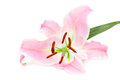 Lily isolated on white background Royalty Free Stock Images