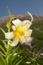 Lily kesselring lilium kesselringianum is in the mountains north caucasus russia Royalty Free Stock Images