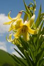 Lily kesselring lilium kesselringianum is in the mountains north caucasus russia Stock Photos