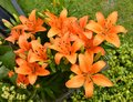 Lilium Orange Pixie flowers
