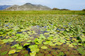 Lily leaves on Skadar Lake, Montenegro Royalty Free Stock Images
