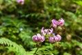 Lily - Lilium martagon (martagon lily, Turk's cap lily) Royalty Free Stock Photo