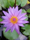 Lily lotus purple violet thailand Royalty Free Stock Photos