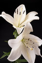 Lily nature flower beauty white on black Stock Image