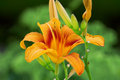 Lily orange over green background Royalty Free Stock Photography