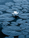 Lily pads Royalty Free Stock Photo