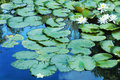 Lily Pads on Blue Reflections Royalty Free Stock Photo