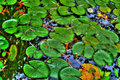 Lily pads in a calm reflection pond in hdr Royalty Free Stock Photography