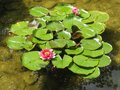 Lily pads floating lotus Royalty Free Stock Images