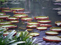 Lily pads in a pond Royalty Free Stock Photo