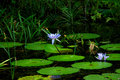 Lily pads with water lilies in bloom on the surface of a pond Royalty Free Stock Photography