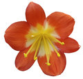 Lily pink flower, isolated  with clipping path, on a white background. yellow pistils, stamens. Yellow center. for design. Royalty Free Stock Photo