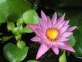 Lily pink water Στοκ φωτογραφία με δικαίωμα ελεύθερης χρήσης