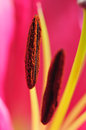 Lily pistil red tiger macro Stock Image