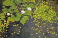 Lily Pond Stock Images