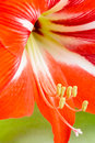 Lily red stamens pestle full frame closeup Royalty Free Stock Images