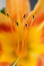 Lily stamen closeup of center of covered in pollen Stock Images