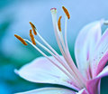 Lily Stamen Macro Royalty Free Stock Images
