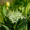 Lily-of-the-valley Stock Photos