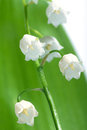 Lily-of-the-valley Fotografia Stock Libera da Diritti