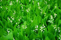 Lily-of-the-valley Immagine Stock