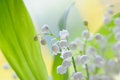 Lily of the valley bouquet Royalty Free Stock Photo