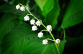 Lily of the valley close up Royalty Free Stock Image