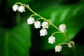Lily of the valley close up Royalty Free Stock Photos