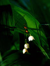 Lily of the valley close up flower Stock Photo