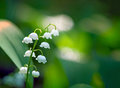 Lily of the valley close up in forest Royalty Free Stock Photo