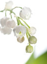 Lily of the valley, closeup Stock Images