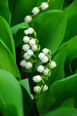 Lily-of-the-valley closeup Royalty Free Stock Images