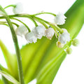 Lily of the valley convallaria majalis isolated on white Stock Photos