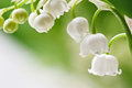 Lily of the valley delicate flowers on a branch Stock Photo