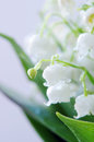 Lily of the valley dof close up Stock Photography