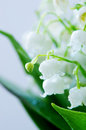 Lily of the valley dof close up Stock Images