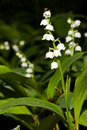 Lily of the valley flower with a gnat on top Royalty Free Stock Image