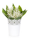 Lily of the valley in flower pot isolated on white background Stock Photo
