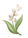 Lily of the valley flower. Vector illustration. Royalty Free Stock Photo