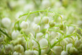 Lily of the Valley flowers Royalty Free Stock Photos