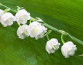 Lily of the valley flowers Royalty Free Stock Photo