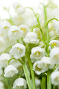 Lily of the valley flowers delicate macro closeup Royalty Free Stock Photos