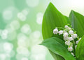 Lily-of-the-valley flowers Royalty Free Stock Photo