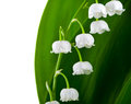 Lily of the valley flowers isolated on white background convallaria majalis Royalty Free Stock Photos